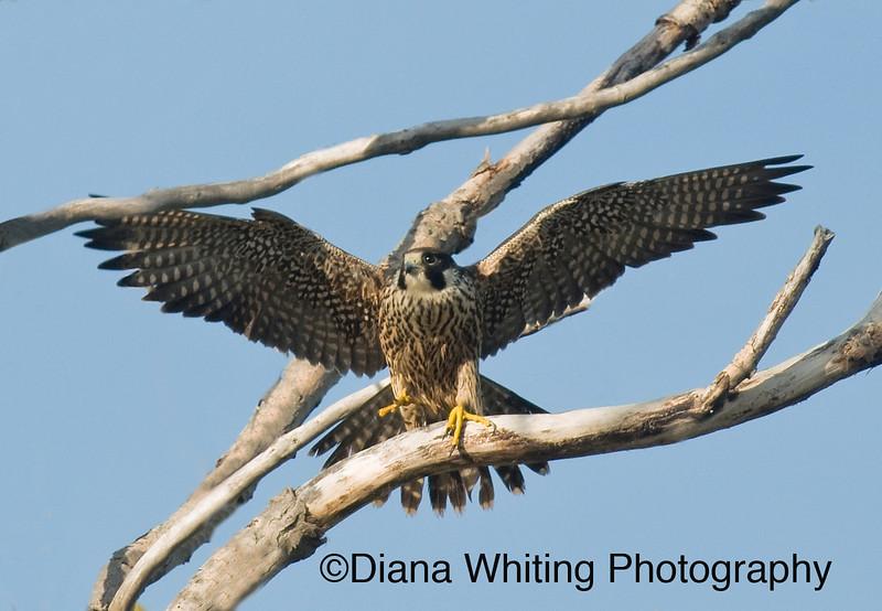 Peregrine Falcon Wingspan Peregrine Falcon Wingspan