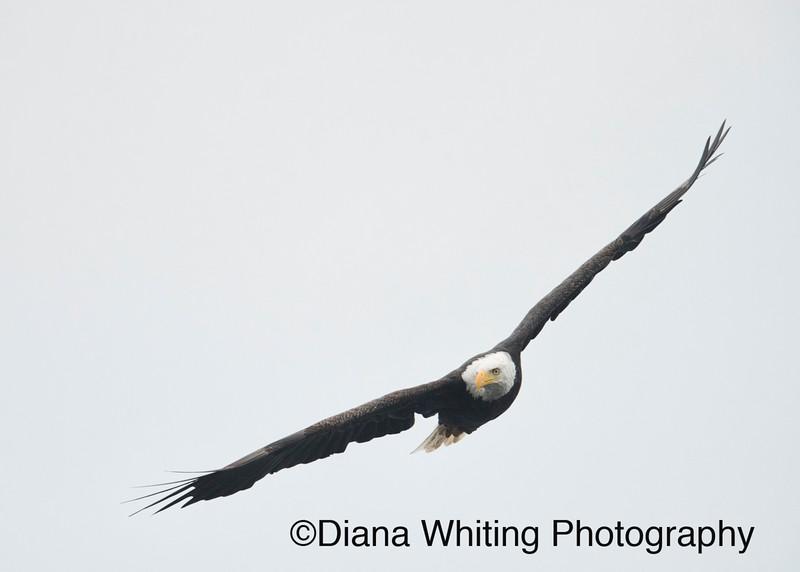 Mature Bald Eagle Montezuma Wildlife Refuge