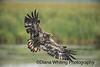 Immature Bald Eagle in Flight