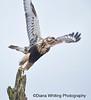 Rough Legged Hawk Female Juvenille