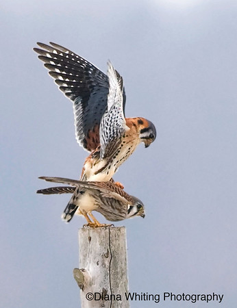 American Kestrel Mating