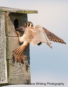 Female American Kestrel Feeding Young