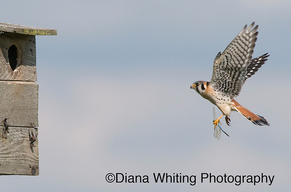 Male American Kestrel Bringing Dragonfly to Nest Box