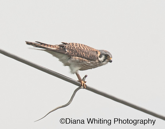 American Kestrel With Snake