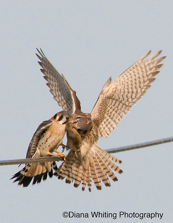 Male Kestrel Transfering  Food to Female For Young copy