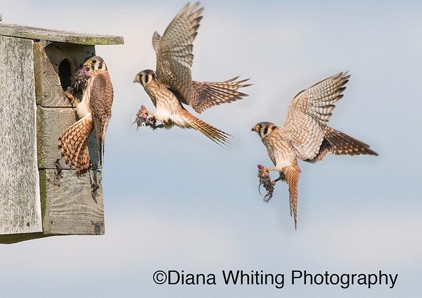 American Kestrel Flight Sequence