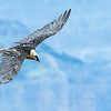 Lammergeier (Bearded Vulture)
