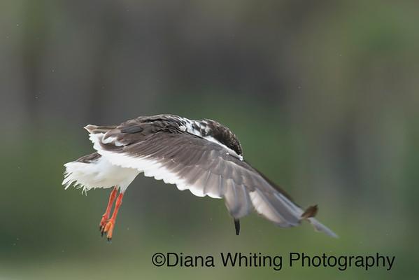 Black Skimmer Flight
