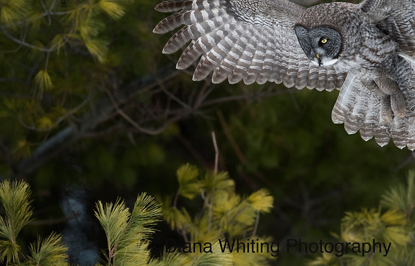 Artistic View of Great Gray Owl Flying in to Land on Prey