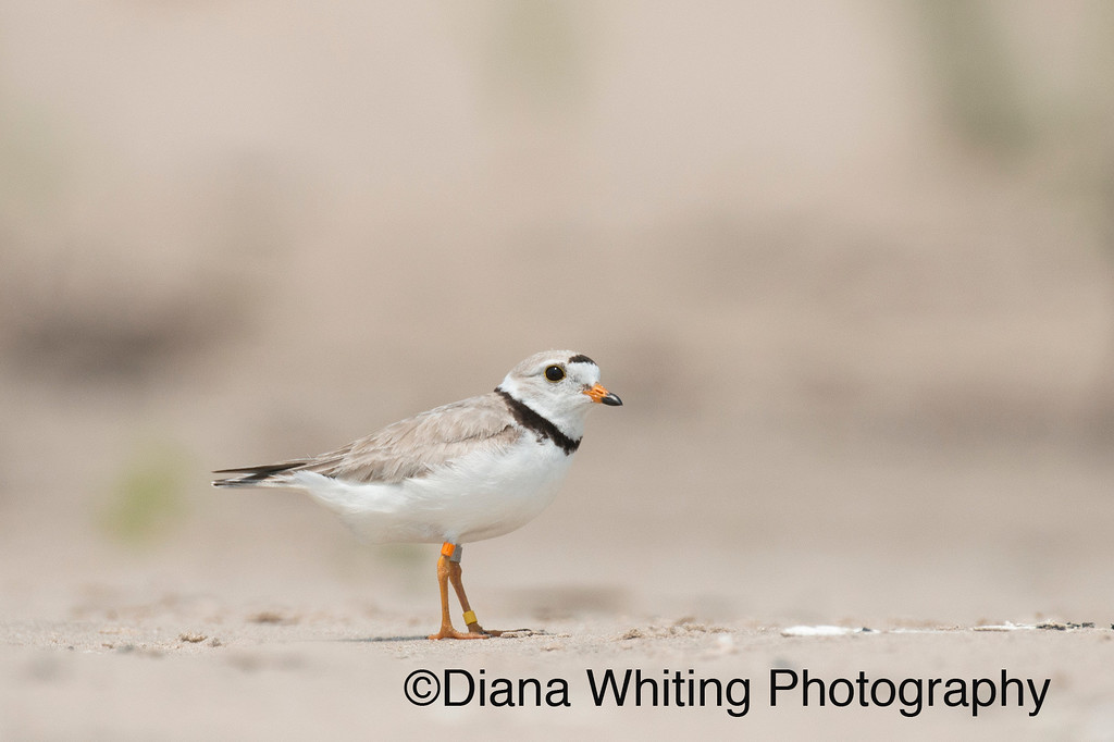 Piping Plover Lake Ontario ©Diana Whiting_DEW7815  July 6th 2015 This is the male. x