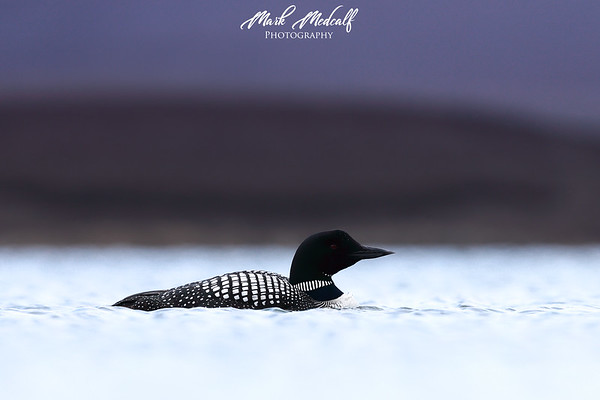 Purple Great Northern Diver
