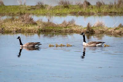 Canada Geese & Five Goslings Swimming