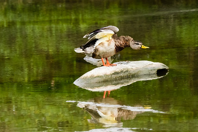 Duck Excercise 1 - Wing Strengthening
