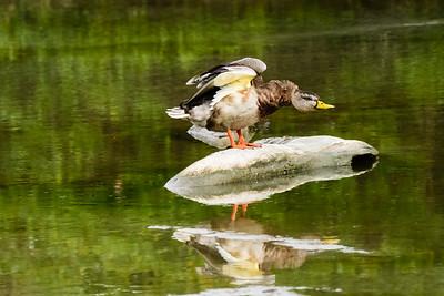 Duck Excercise 1 - Wing Strengthening