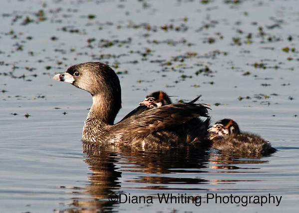 Pied billed Grebe Family
