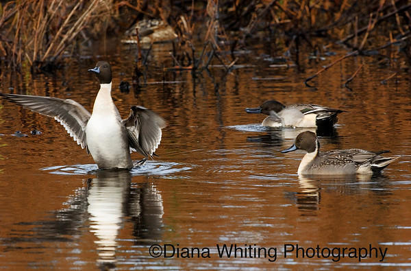 3 Pintails