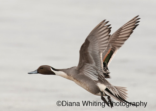 Northern Pintail Flight 2