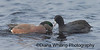 American Widgeon Stealing Food From Coot copy