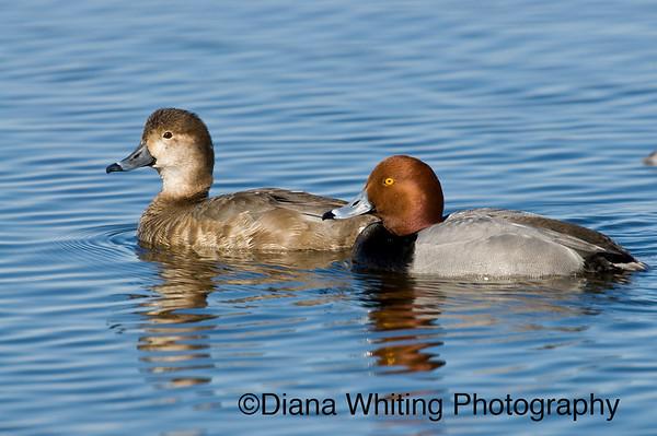Redhead Duck Pair 2