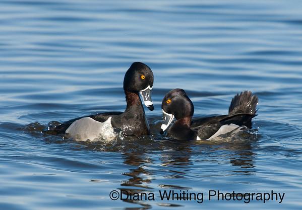 Ring Neck Ducks Territorial Behavior