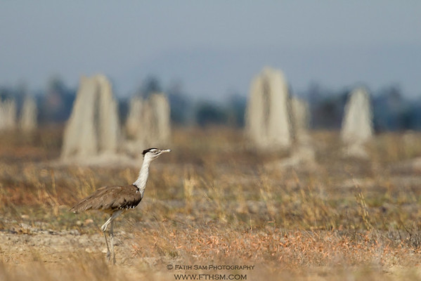 Australian Bustard. Overly heath-hazed, especially termite mounds on the background.