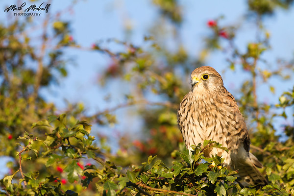 Kestrel in Bush