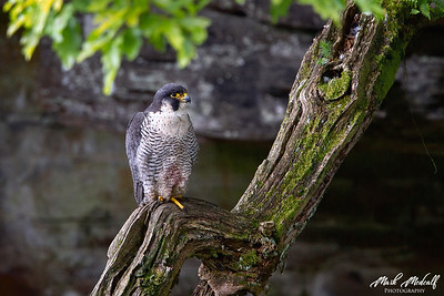 Peregrine Hunter