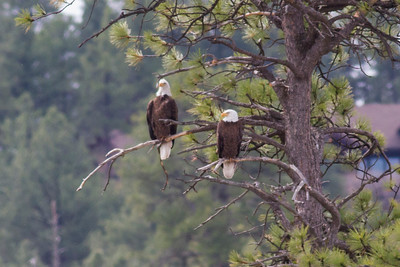 Bald Eagles IMG_5856
