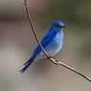 Mountain Bluebird IMG_6237