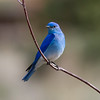 Mountain Bluebird IMG_6238