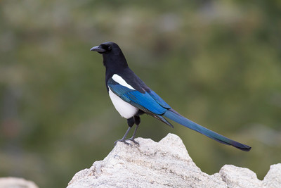 Black-billed Magpie IMG_4850