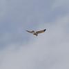 Northern Harrier  IMG_5549