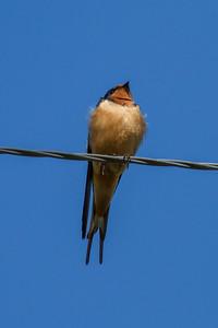 Barn Swallow IMG_6015