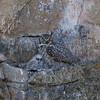 Great-horned Owl IMG_5122