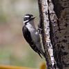 Downy Woodpecker IMG_6122