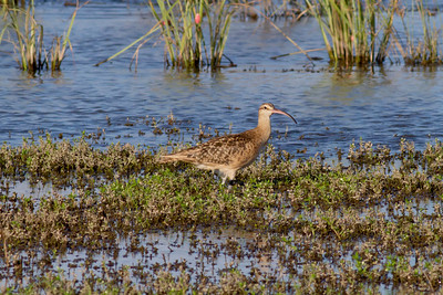 Bristle-thighed Curlew IMG_0550