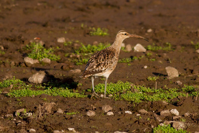 Bristle-thighed Curley IMG_0178