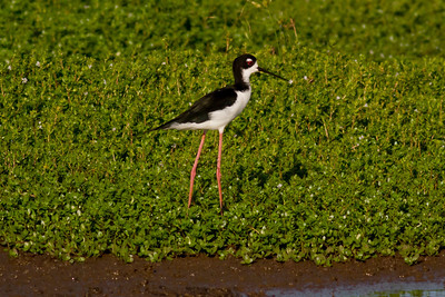 Black-necked Stilt IMG_0164