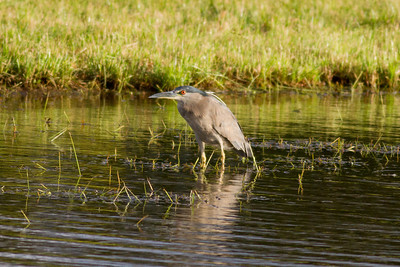 Black-crowned Night Heron IMG_0169