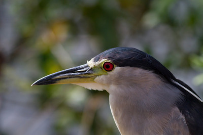 Black-crowned Night Heron IMG_0225