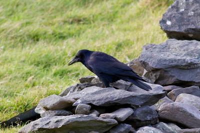 Carrion Crow IMG_8875