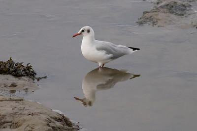 Black-headed Gull IMG_8680