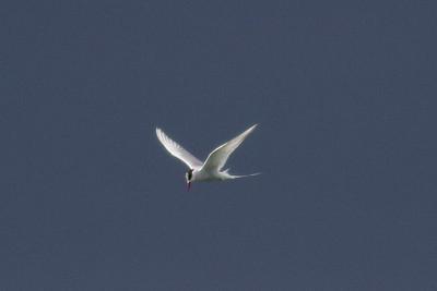 Artic Tern IMG_8739
