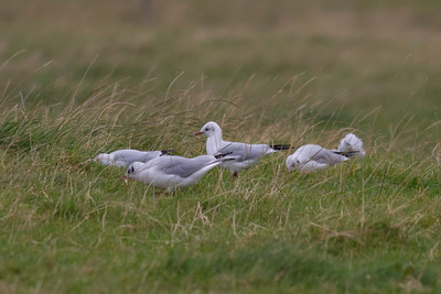 Black-headed Gulls IMG_8854