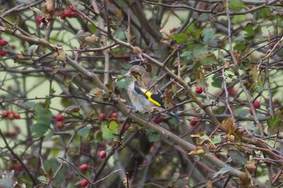 Goldfinch IMG_8622