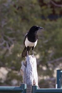 Black-billed Magpie IMG_1588