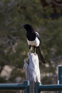 Black-billed Magpie IMG_1587
