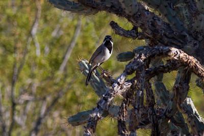 Black-throated Sparrow IMG_1915