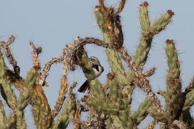 Black-throated Sparrow IMG_1882