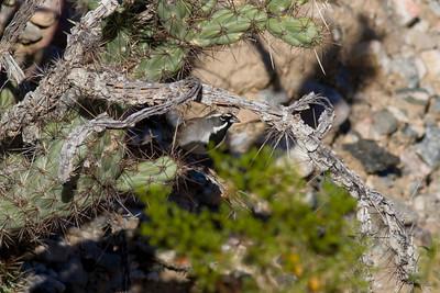 Black-throated Sparrow IMG_1913